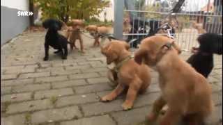 Golden Retriever Welpen – puppies