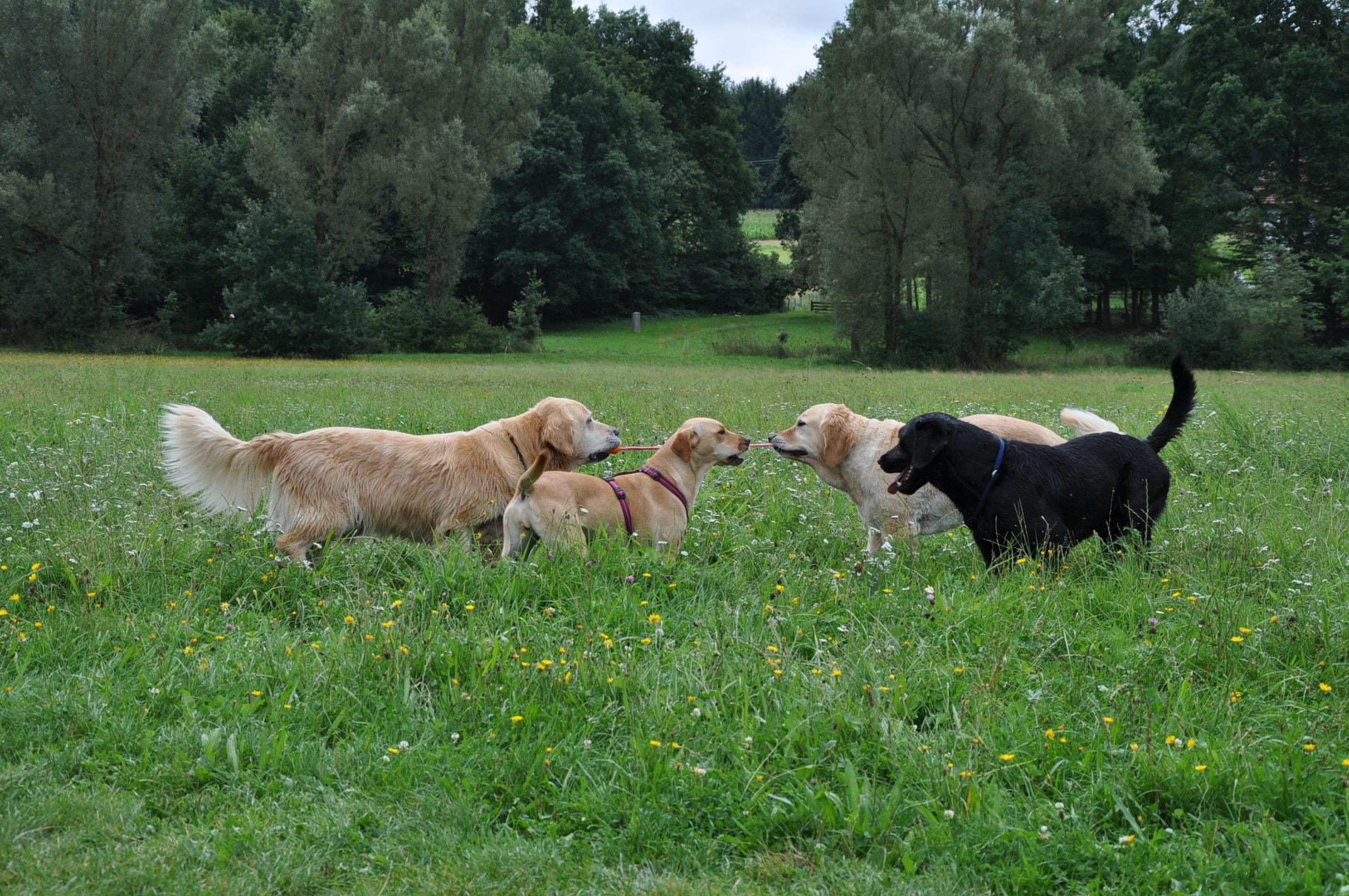 Hunde spielen zusammen tauziehen