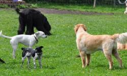 Hunderasse Labrador oder Schäferhund